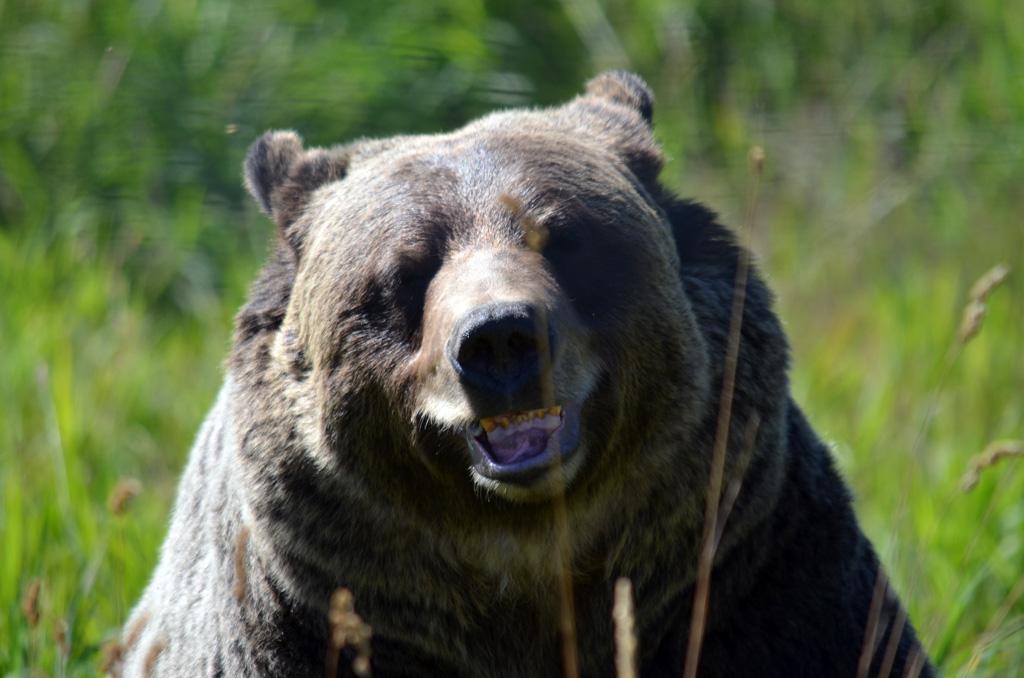 Grizzly Boo hatte mehrmals die Zahnprophylaxe geschwänzt